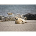 lazy seals on the bull island 1