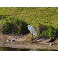 nature bird White Egret duck water canal