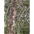 bird cornwall woodpecker