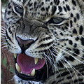 amur leopard wild cat big animal endangered whf conservation