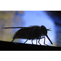 macro black negro insect fly dark oscuro blue azul SILHOUETTEFRIDAY