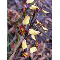 Pansy Orchid Donkey Orchid Flower Plant