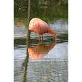 flamingo bird feathers pink ferlection water lake chester zoo