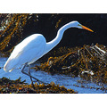 Great Egret in tide pool, October 15, 2008