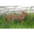 muntjac wicken fen cambridgeshire