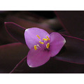 purpleheart flower nature