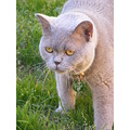 british shorthair cat feline animal pet family