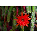 cactus flower thorny orange green closeup