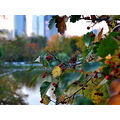 Autumn in the City rowanberry