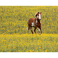 horse spring galloping yellow flowers wild flowers field of flowers