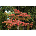 stlouis missouri us usa plant tree sky fall red green 2006