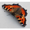 Peak District Derbyshire Small Tortoiseshell Butterfly
