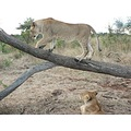 Elephants Wildlife African Lions Masuwe WalkingWithLions Conservation