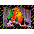 MULTICOLORFRIDAY larikeet parrots brids animals