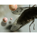 fly wings spheres macro mosca vuelo alas
