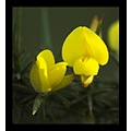 nature flower plant gorse cornwall