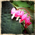 bleeding hearts flower floral pink green