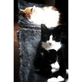 black and white cat cats kitten kittens cute