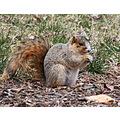 foxsquirrel squirrel animal