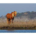 Wild Pony of Assateague