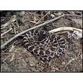 Coastal southern pacific rattlesnake from SanDiego county