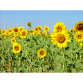 flowers yellow nature plant travel Spain