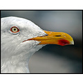 herringgull gull bird eye bill