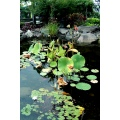 green rock pond tree pad lillies lilly water yellow flower flowers white