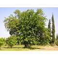 mulberry_tree