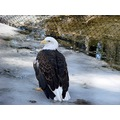 Eagle sitting on Ice... just a few pics from our trip to the zoo yesterday