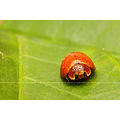 Coccinellidae beetle insect bug garden macro morning dew
