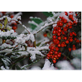 snow berries winter
