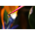 reflectionthursday raindrop garden Bird of Paradise littleollie