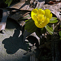 Winter Aconite or Winter Buttercups