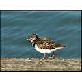 birds turnstone