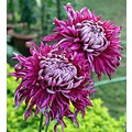 zespook Lucknow India chrysanthemums flower