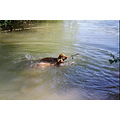 animal animals dog dogs MagyarVizsla Vizsla Anuschka Alvaro Watergames swimming
