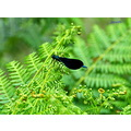 fern insect