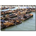 usa sanfrancisco animal sealion usax sanfx animx sealx
