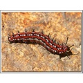 larva variegatedfritillary butterfly insect