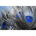 Blue Peacock Feathers Nature