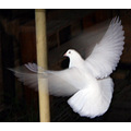dove flying bird