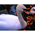 whitefriday2 theme 2008 funchal swan lake madeira portugal myownfav
