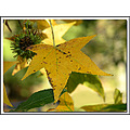 leaf sweetgum tree fall yellow