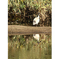 bird White Ibis pond perth littleollie