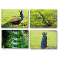 Birds Colors Peacock Animals Nature