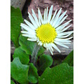 flowers daisy white green