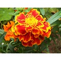 flower flowers garden nature turk compftorange