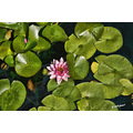 flowers floral waterlilly