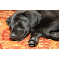 puppy dog labrador